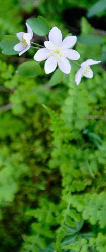 Scroll-Spring Ferns