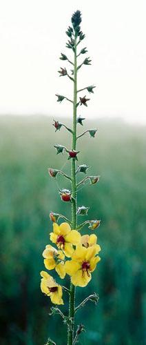 Scroll-Yellow Flower