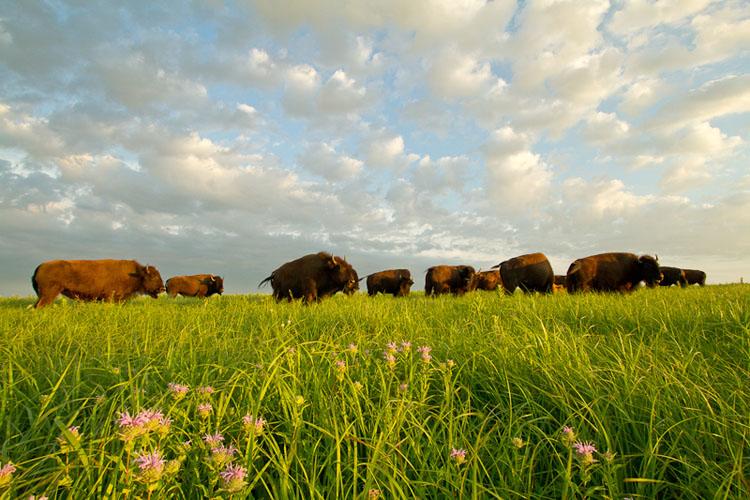 Tallgrass Prairie National Preserve, Bison-(FH27)
