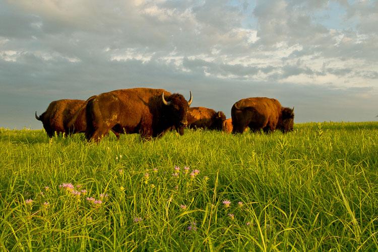 Tallgrass Prairie National Preserve, Bison-(FH28)