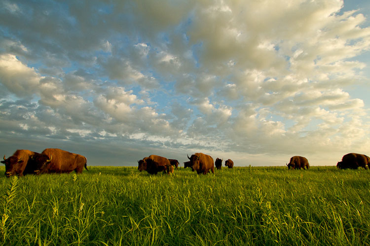 Tallgrass Prairie National Preserve, Bison-(FH29)