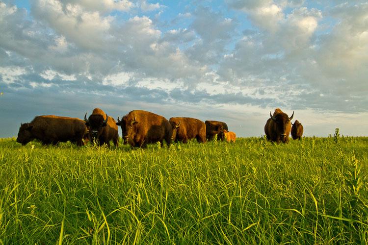 Tallgrass Prairie National Preserve, Bison-(FH30)