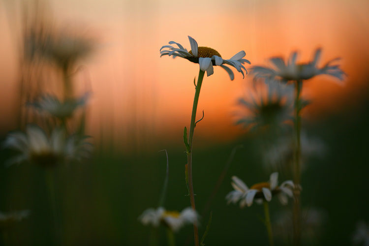 Daisies in Meadow-(KL107)