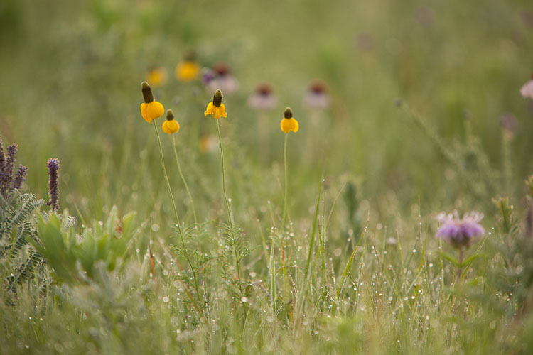 Flint Hills, Yellow Coneflowers, Summer-(FH63)