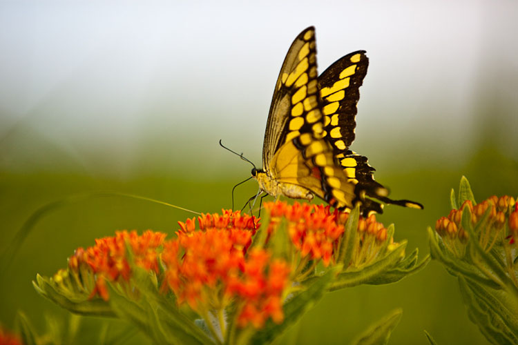 Konza Prairie, Swallow Tail on Butterfly Milkweed-(FH17)