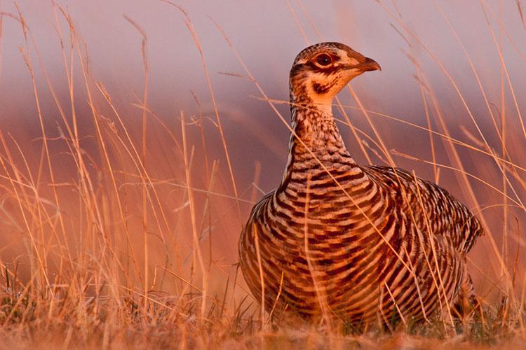 Prairie Chicken, Hen-(FH68)