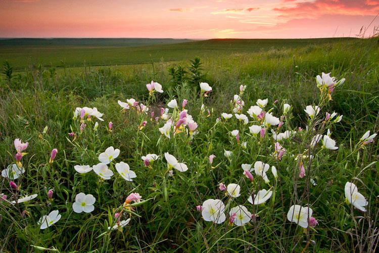 Primrose Sunrise, Tallgrass Prairie National Preserve-(FH34)