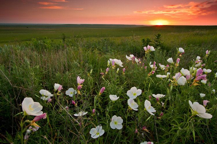 Primrose Sunrise, Tallgrass Prairie National Preserve-(FH35)