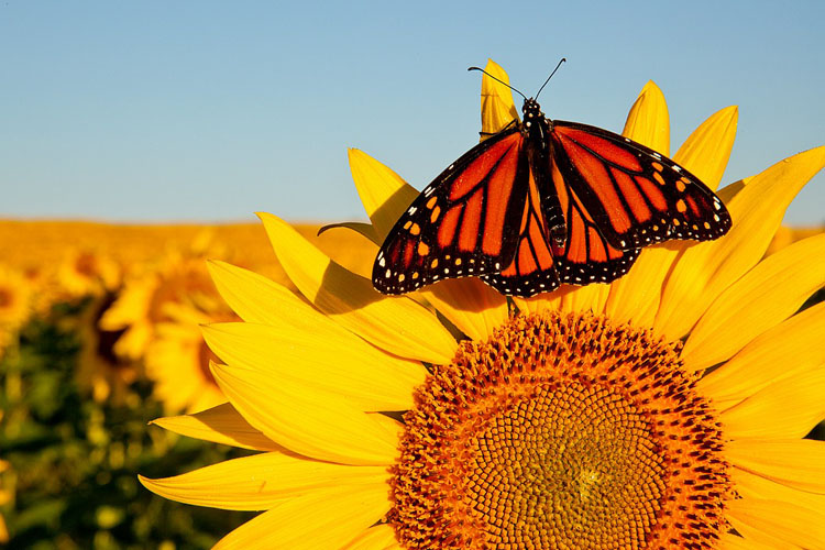 Sunflower, Monarch