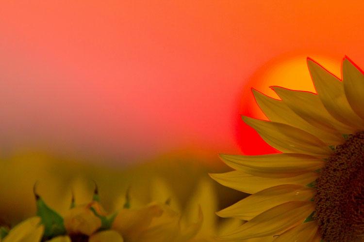 Sunflowers-(KL5)