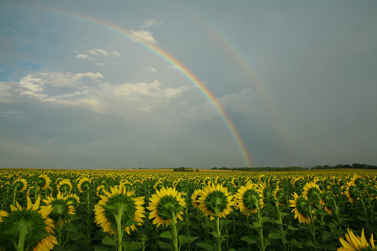 Sunflowers, Double Rainbow-(S21)