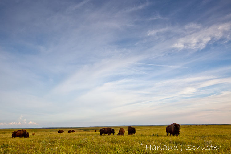 Tallgrass Prairie National Preserve, Bison (2057)