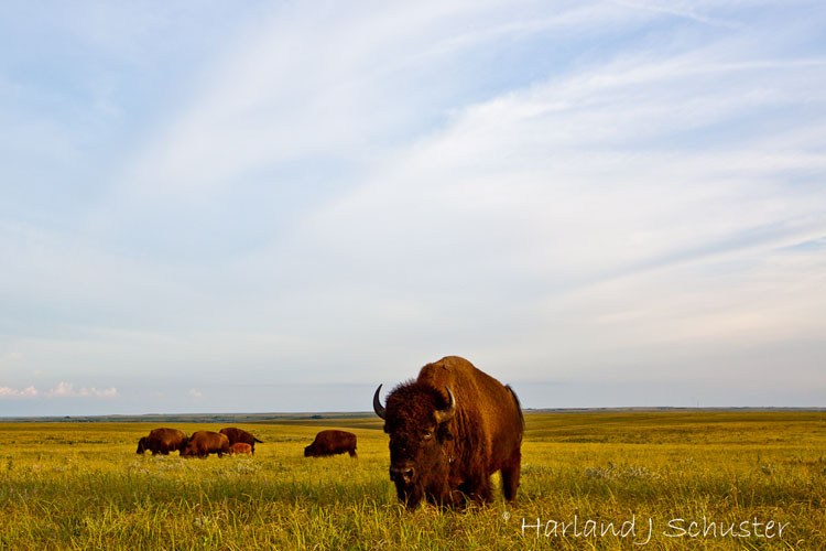 Tallgrass Prairie National Preserve, Bison (2069)