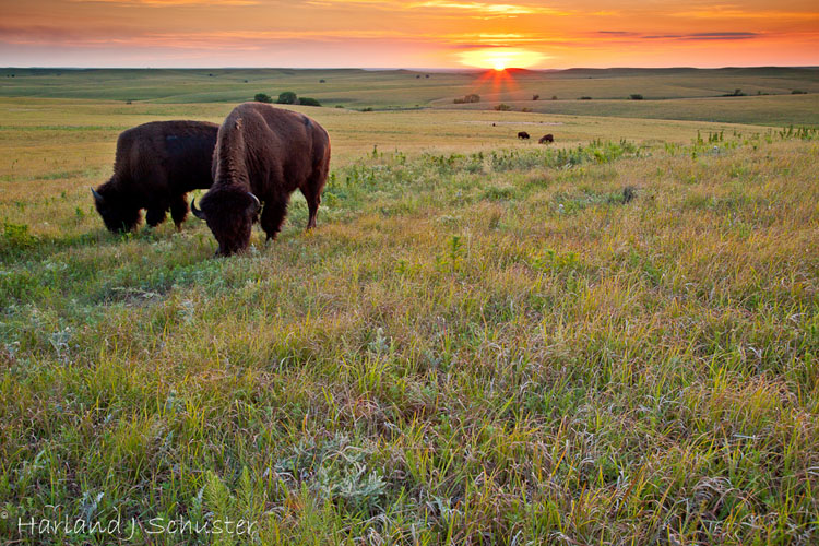 Tallgrass Prairie National Preserve, Bison (2217)
