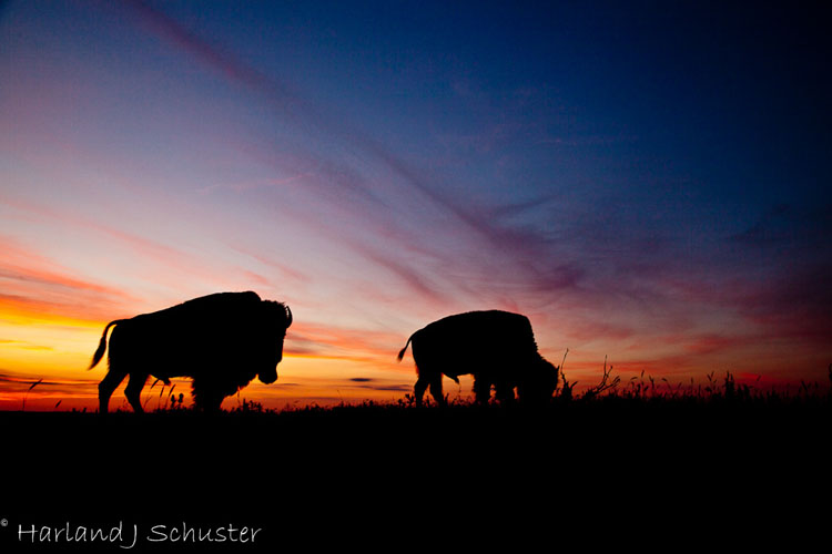 Tallgrass Prairie National Preserve, Bison (2279)
