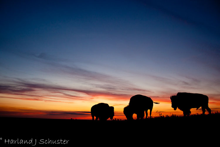 Tallgrass Prairie National Preserve, Bison (2329)