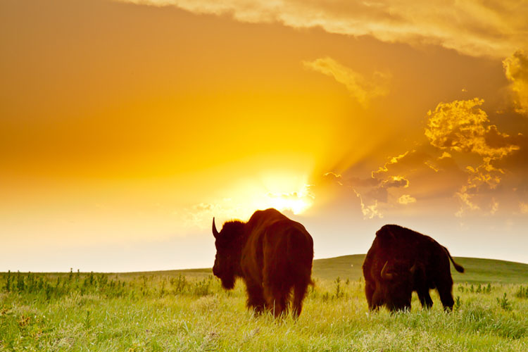 Tallgrass Prairie National Preserve, Bison at Sunset-(FH10)