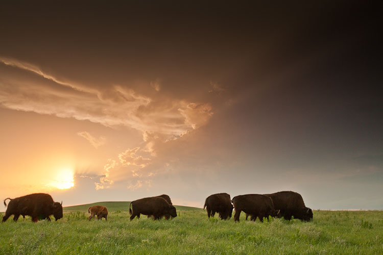 Tallgrass Prairie National Preserve, Bison at Sunset-(FH11)