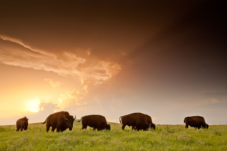 Tallgrass Prairie National Preserve, Bison at Sunset-(FH12)