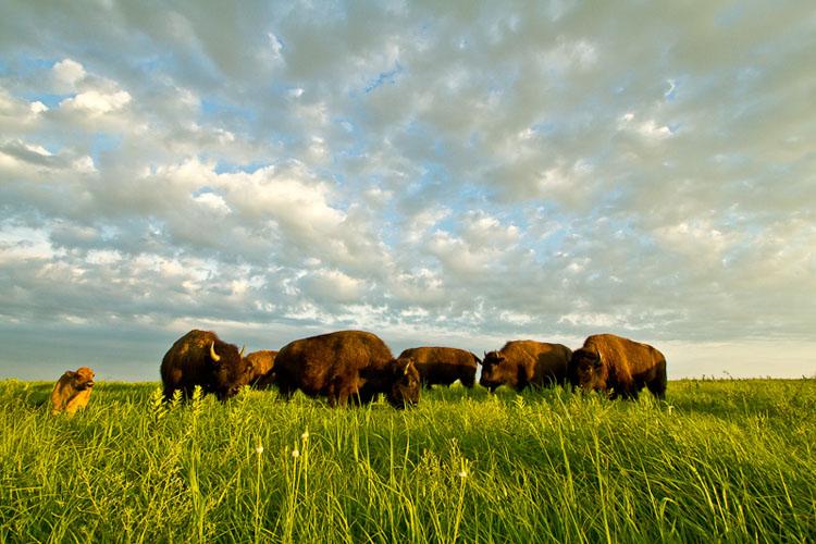 Tallgrass Prairie National Preserve, Bison-(FH31)