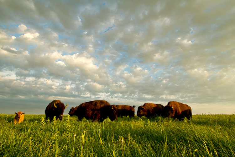 Tallgrass Prairie National Preserve, Bison-(FH32)