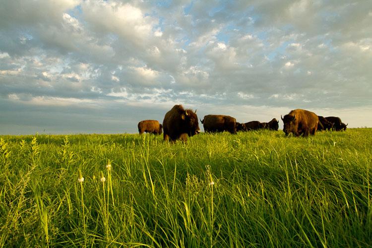 Tallgrass Prairie National Preserve, Bison-(FH33)