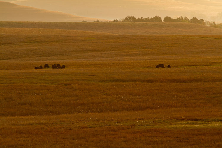 Tallgrass Prairie National Preserve, Bison, Windmill Pasture, Fall-(FH1)