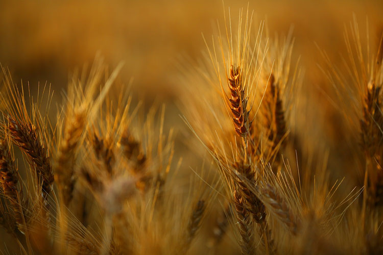 Wheat-(W4)