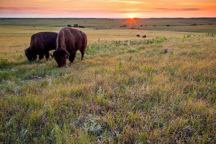 Tallgrass Prairie National Preserve, Bison