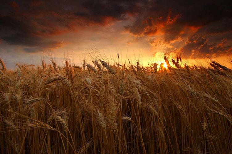 Wheat-(W8)