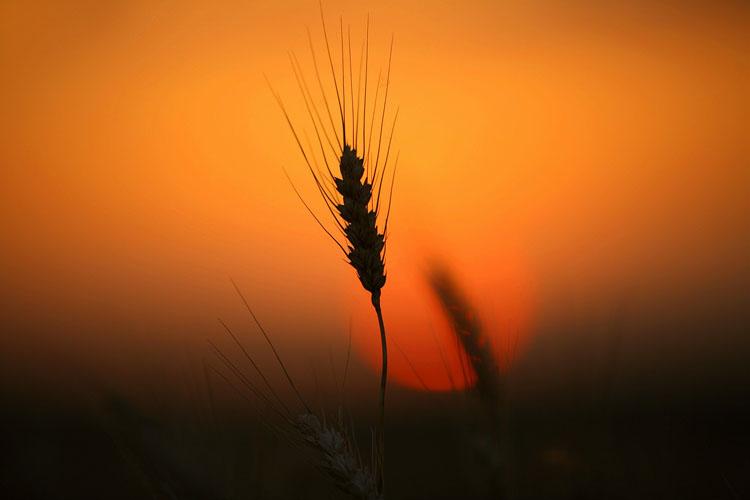 Wheat-(W9)