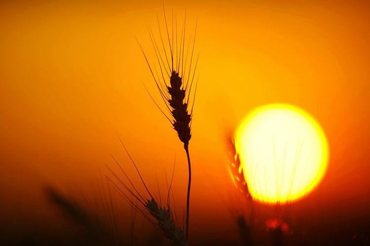 Wheat-(W11)