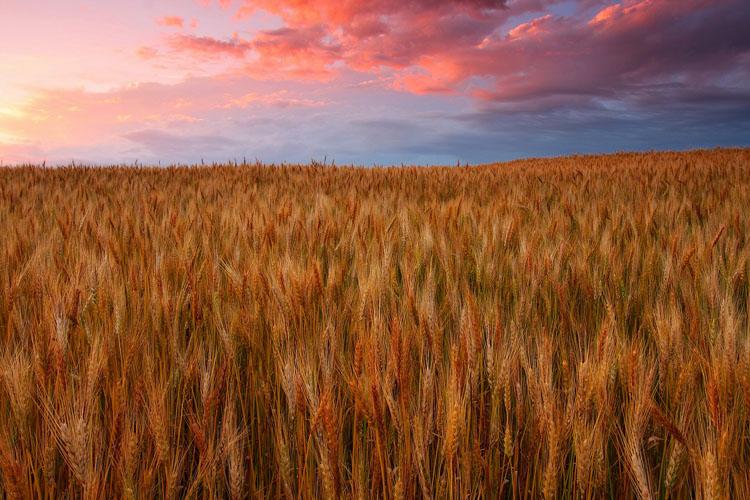 Wheat-(W12)