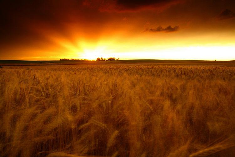 Wheat-(W15)