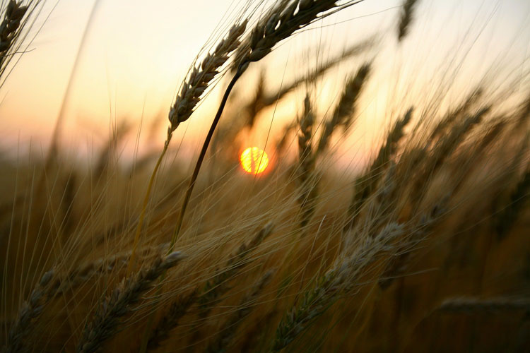 Wheat-(W16)
