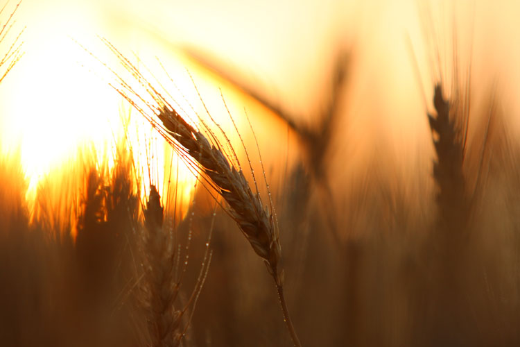 Wheat-(W18)