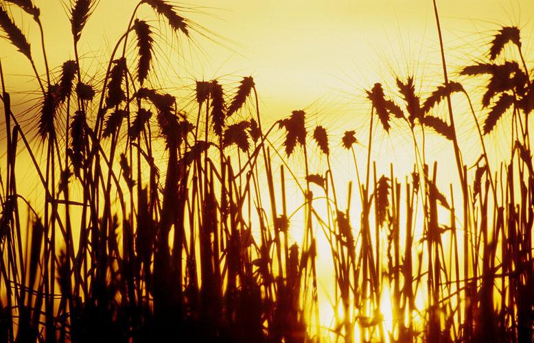 Wheat-(W19)