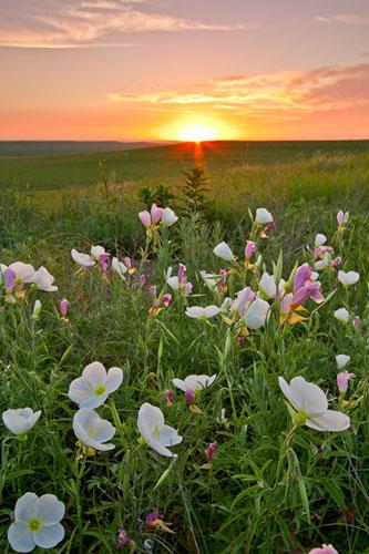 Primrose Sunrise, Tallgrass Prairie National Preserve-(FH36)
