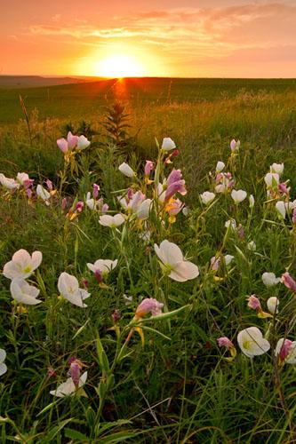 Primrose Sunrise, Tallgrass Prairie National Preserve-(FH38)