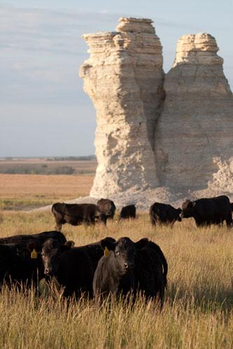 Summer Cattle, Castle Rock-(CC2)