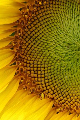 Sunflowers-(S1)