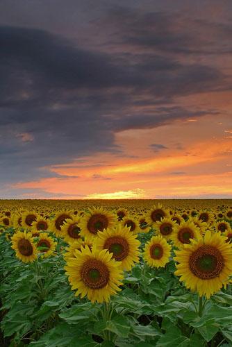 Sunflowers-(S3)