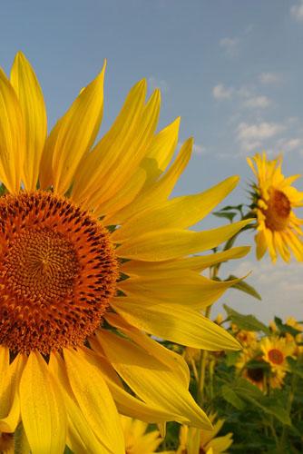 Sunflowers-(S5)