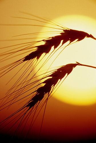 Wheat-(W6)