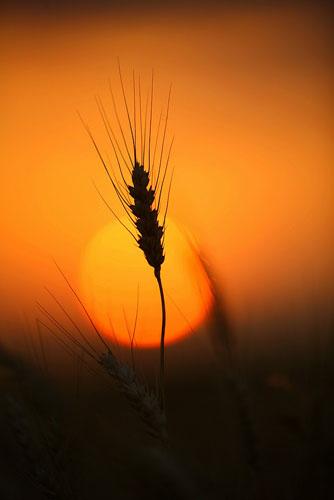 Wheat-(W10)