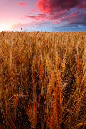 Wheat-(W13)