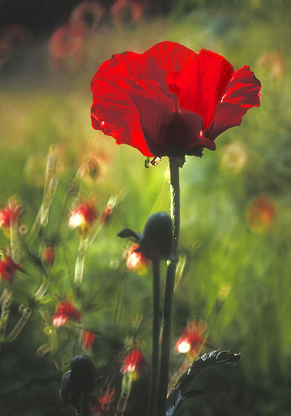 Poppy  34x24 (image)  color photograph  $1,285 fr