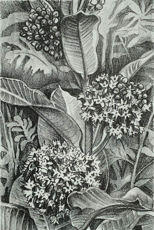 Milkweed 8x5 lithograph $125 fr