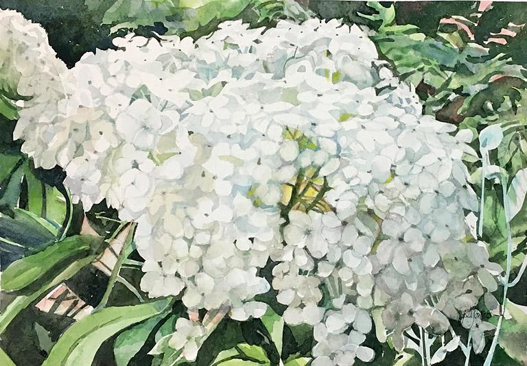 Hydrangea White 12x8 wc $355 fr