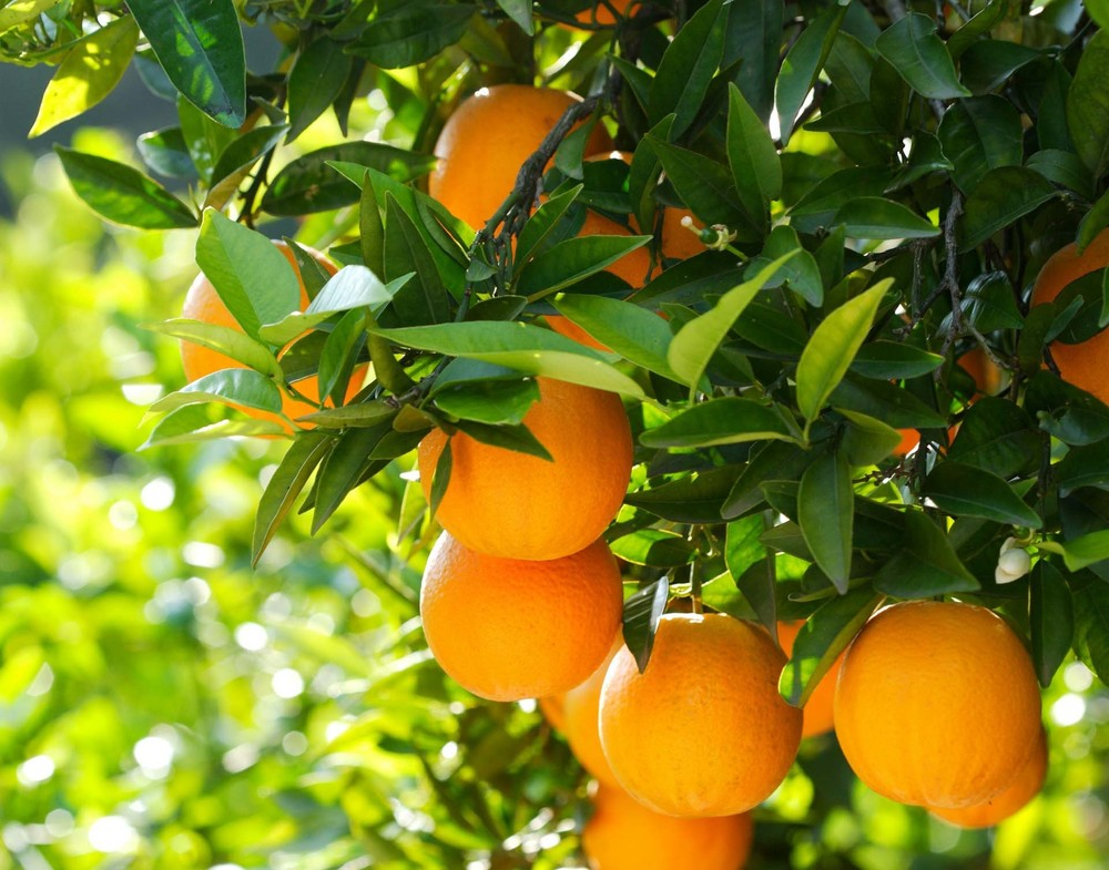 orange-tree-19201508-image.jpg